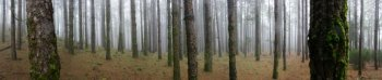Pine forest panorama